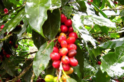 Costa Rica Vacation Coffee Tours